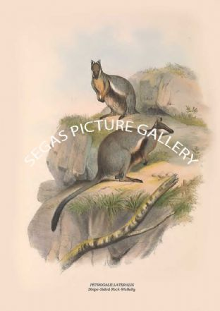 PETROGALE LATERALIS -- Stripe-Sided Rock-Wallaby
